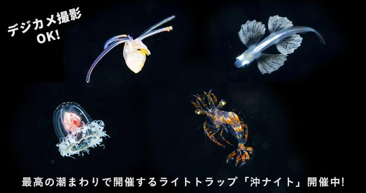 浮遊期幼魚ライトトラップナイトダイビング