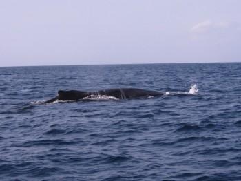 大迫力!ザトウクジラ