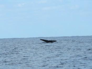 クジラ尻尾。