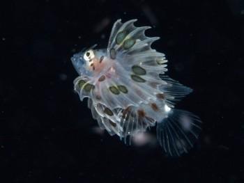 浮遊期幼魚