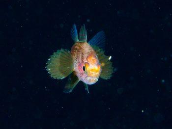 浮遊期幼魚4
