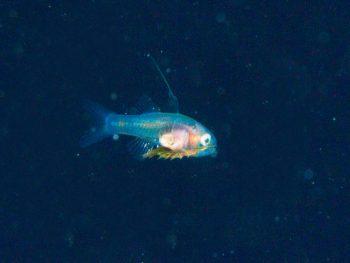 浮遊期幼魚2