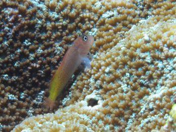 カエルウオ幼魚シリーズ。色々見れて面白い