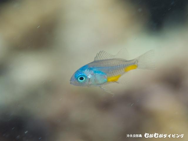 おそらくソラスズメのスーパー幼魚。スケスケ!