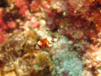チョウチョウコショウダイスーパー幼魚