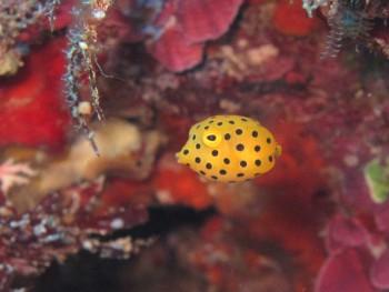 プリティー、ミナミハコフグ幼魚。