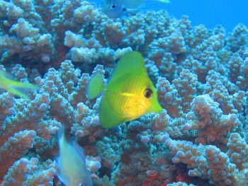 ゴマハギ幼魚。