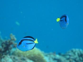 ナンヨウハギ幼魚。