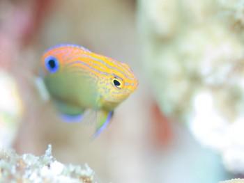 クロメガネスズメダイ幼魚。