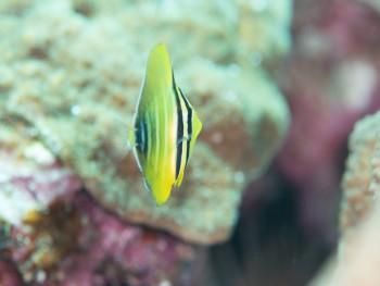 ヒレナガハギ幼魚。