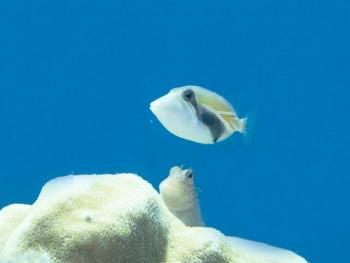 タスキモンガラ幼魚。