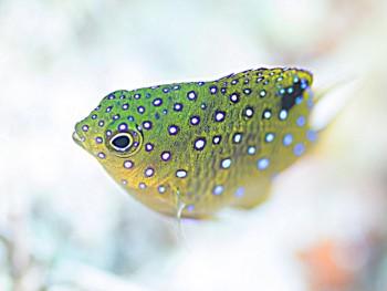 ルリホシスズメダイ幼魚。
