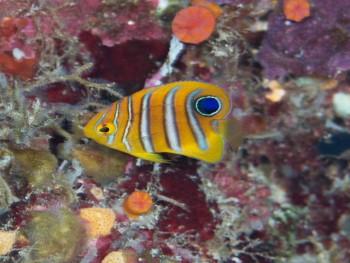 ニシキヤッコ幼魚。