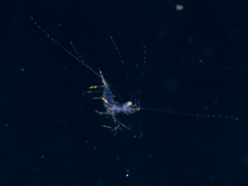 浮遊期甲殻類。