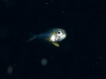 浮遊期幼魚3。