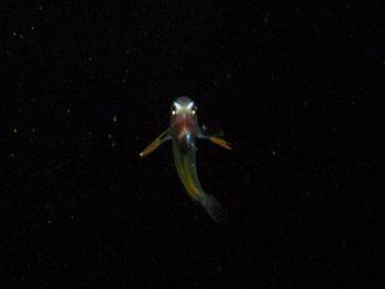 ギンポ系浮遊期幼魚2