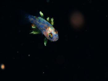 浮遊期幼魚3