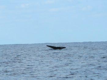 クジラ、テール