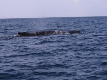 優雅の泳ぐザトウクジラ
