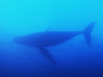 真横を通るザトウクジラ。舎人様撮影