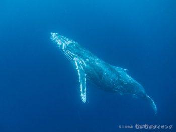 近いです!ザトウクジラ