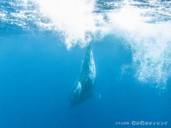 ザトウクジラ潜る!