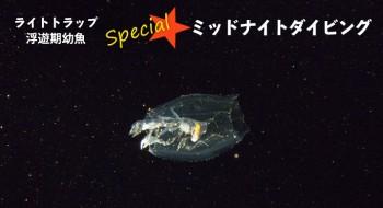 ミッドナイト浮遊期幼魚