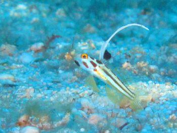 ヤシャハゼ幼魚