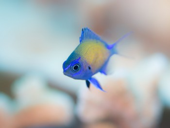 アマミスズメダイ幼魚。男前だ