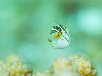 ノコギリハギ幼魚。パステル~
