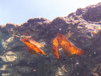 枯葉のようなナンヨウツバメウオ幼魚