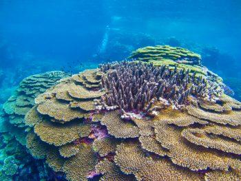 きれいなサンゴ