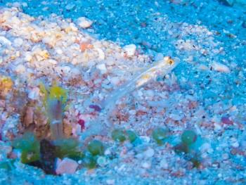 ハタタテシノビハゼ幼魚