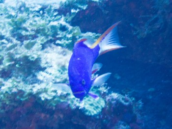 タテスジハタ幼魚。初めて見た
