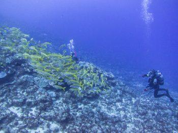 アカヒメジ魚群