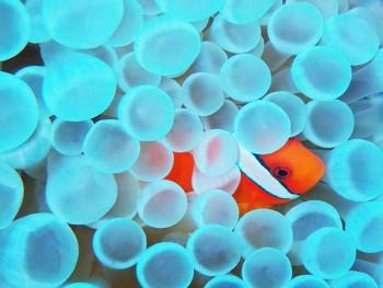 ハマクマノミ。サンゴのつぶつぶまできれい