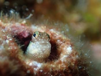 ヒナギンポ幼魚。メタリック感がすごいね