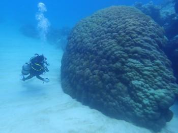 立派なサンゴです。かなり大きい・・・