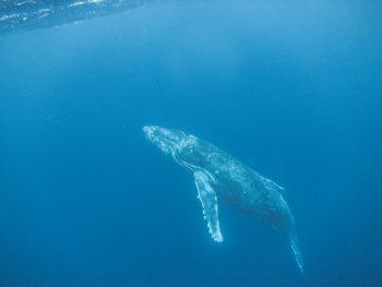 ザトウクジラとあの感動がふたたび