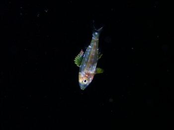スケルトン幼魚