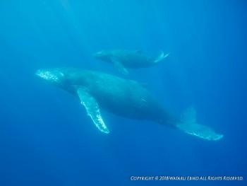 親子クジラ。写真提供:蛯子様