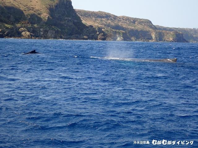 クジラ親子ジャンプ