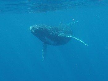 子クジラ興味しんしん。写真提供:大胡様 子クジラ興味しんしん。写真提供:大胡様