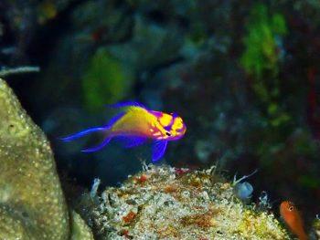 ハナゴンべ幼魚