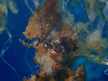 漂流物をチェック!いましたハナオコゼ幼魚