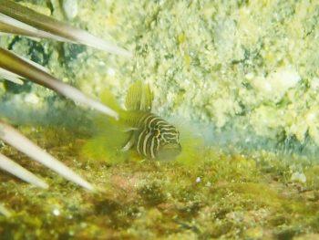 フトスジイレズミハゼ幼魚