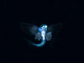 トビウオ幼魚