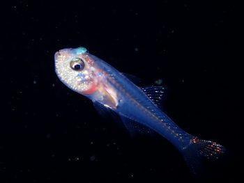 激熱!浮遊期幼魚