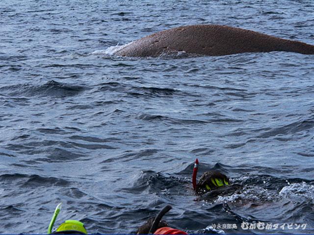 ど迫力!目の前のザトウクジラ