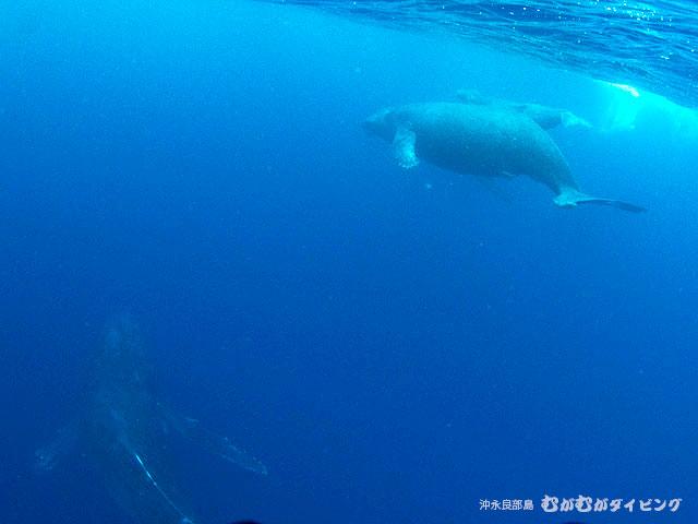 親子クジラ+1